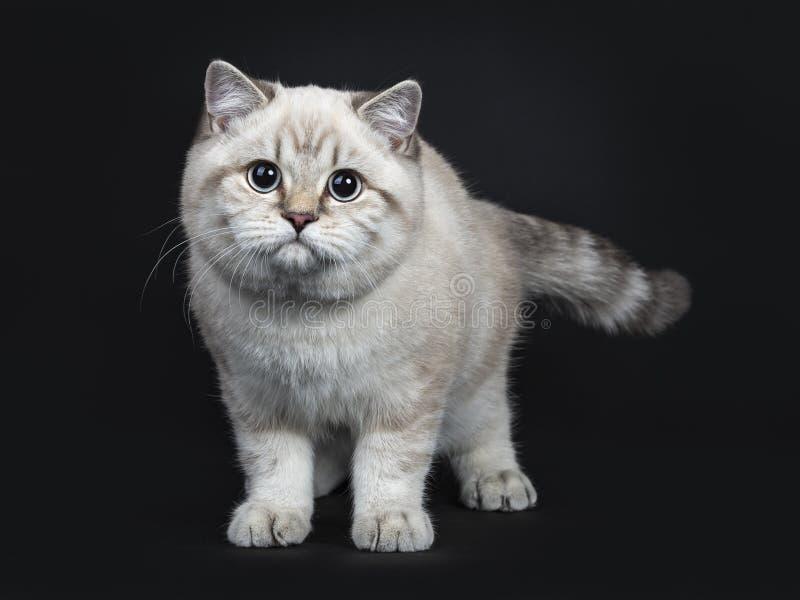 Super leuk blauw de kattenkatje van Shorthair van het gestreepte katpunt Brits die, op zwarte achtergrond wordt geïsoleerd stock afbeelding