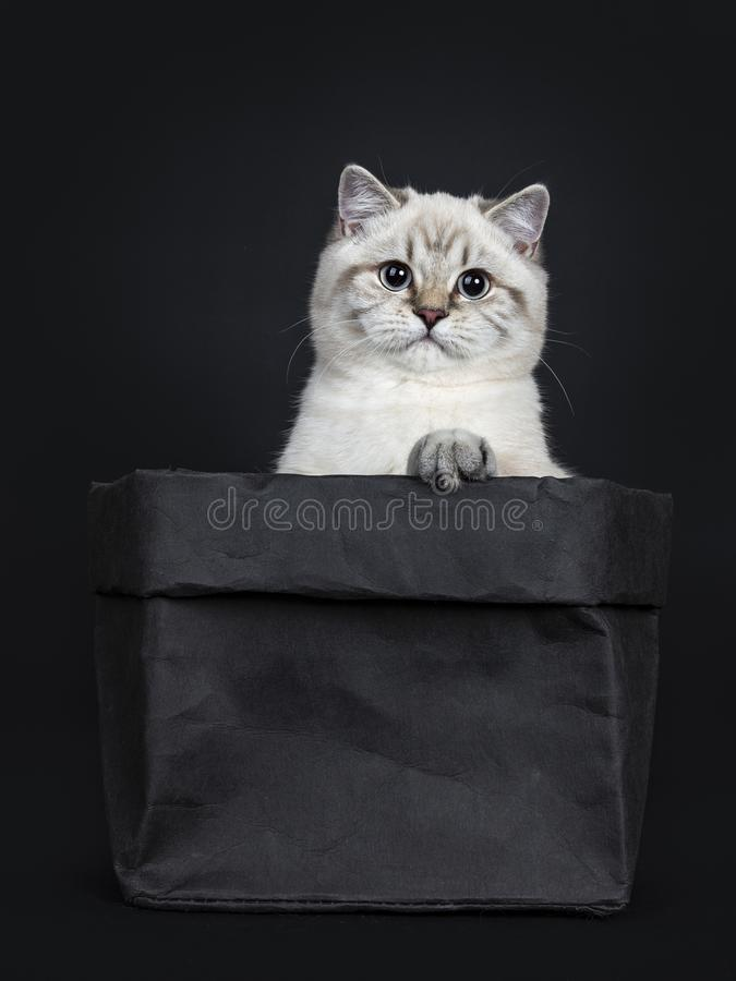 Super leuk blauw de kattenkatje van Shorthair van het gestreepte katpunt Brits die, op zwarte achtergrond wordt geïsoleerd stock afbeeldingen