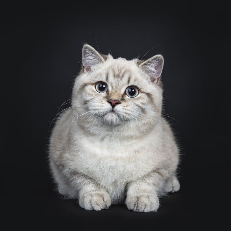 Super leuk blauw de kattenkatje van Shorthair van het gestreepte katpunt Brits die, op zwarte achtergrond wordt geïsoleerd stock fotografie