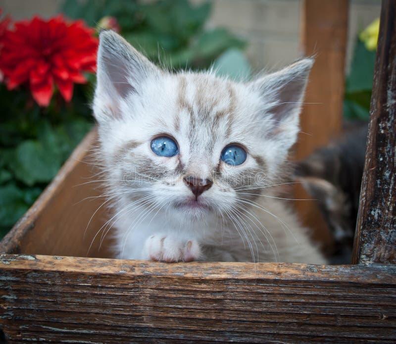 Super Leuk Siamese Katje royalty-vrije stock afbeelding
