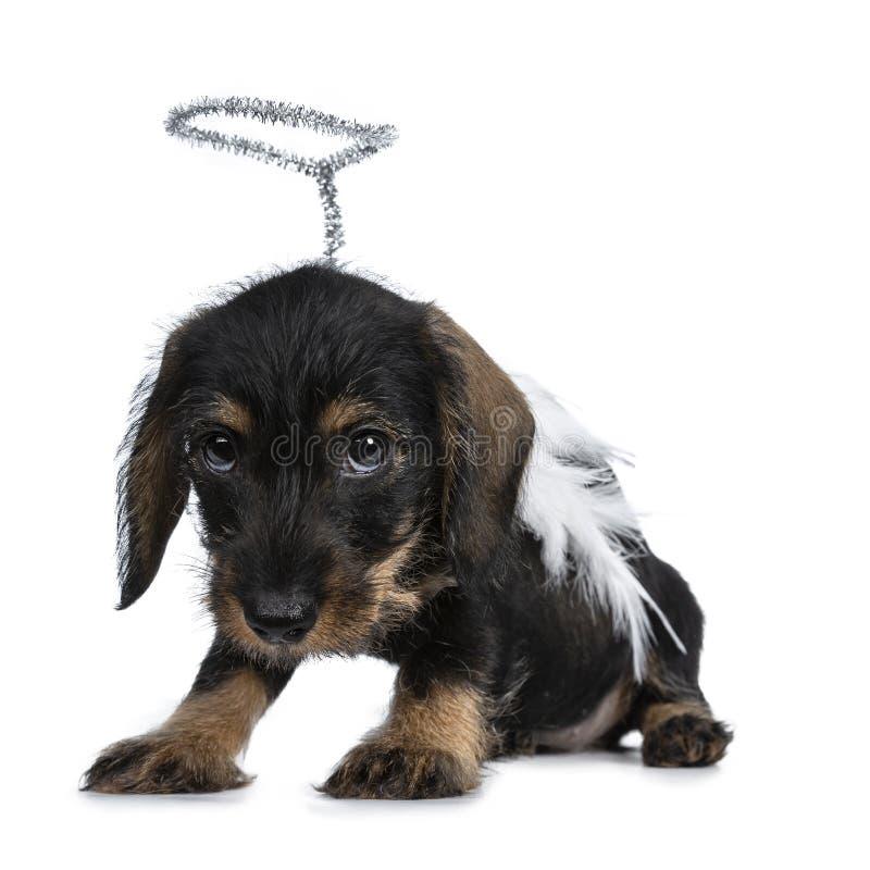 Super leuk wirehaired Mini Dachshund, Geïsoleerd op witte achtergrond royalty-vrije stock afbeelding