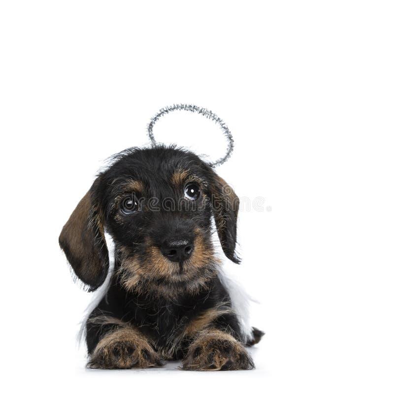 Super leuk wirehaired Mini Dachshund, Geïsoleerd op witte achtergrond royalty-vrije stock afbeeldingen