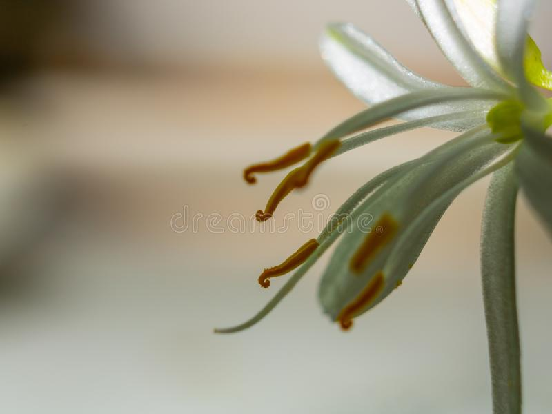 Super macro shot of a flower with a dew drop. Stamen and pistil. Botanical background stock photos