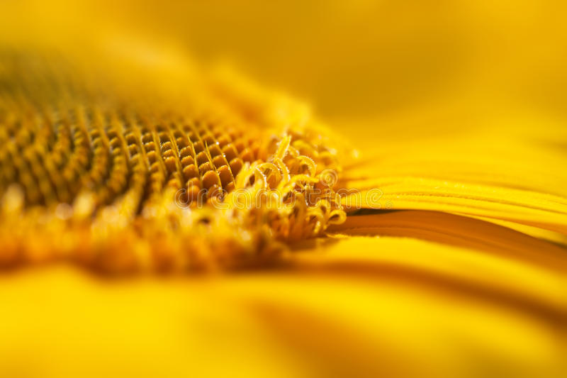 Super Macro Yellow Flower Background / Sunflower. Super Macro Yellow Flower Background with real beautiful bokeh / Sunflower royalty free stock image