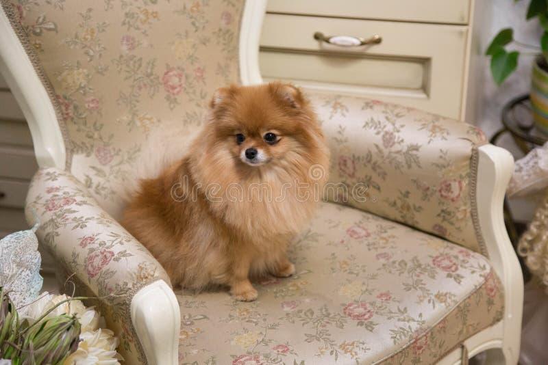 Super schitterende hond van het ras Spiez royalty-vrije stock fotografie