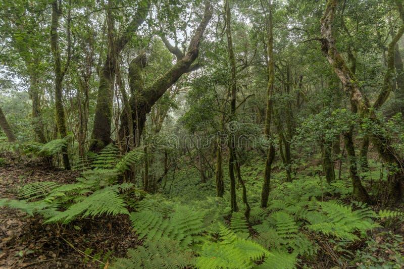 Super szeroka kąt panorama Reliktowy las na skłonach Garajonay parka narodowego góry Gigantyczni bobki i Drzewny wrzos obrazy royalty free