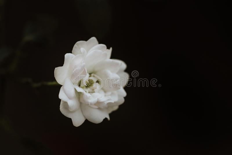 Super white tiny fairy rose flower close up stock photos