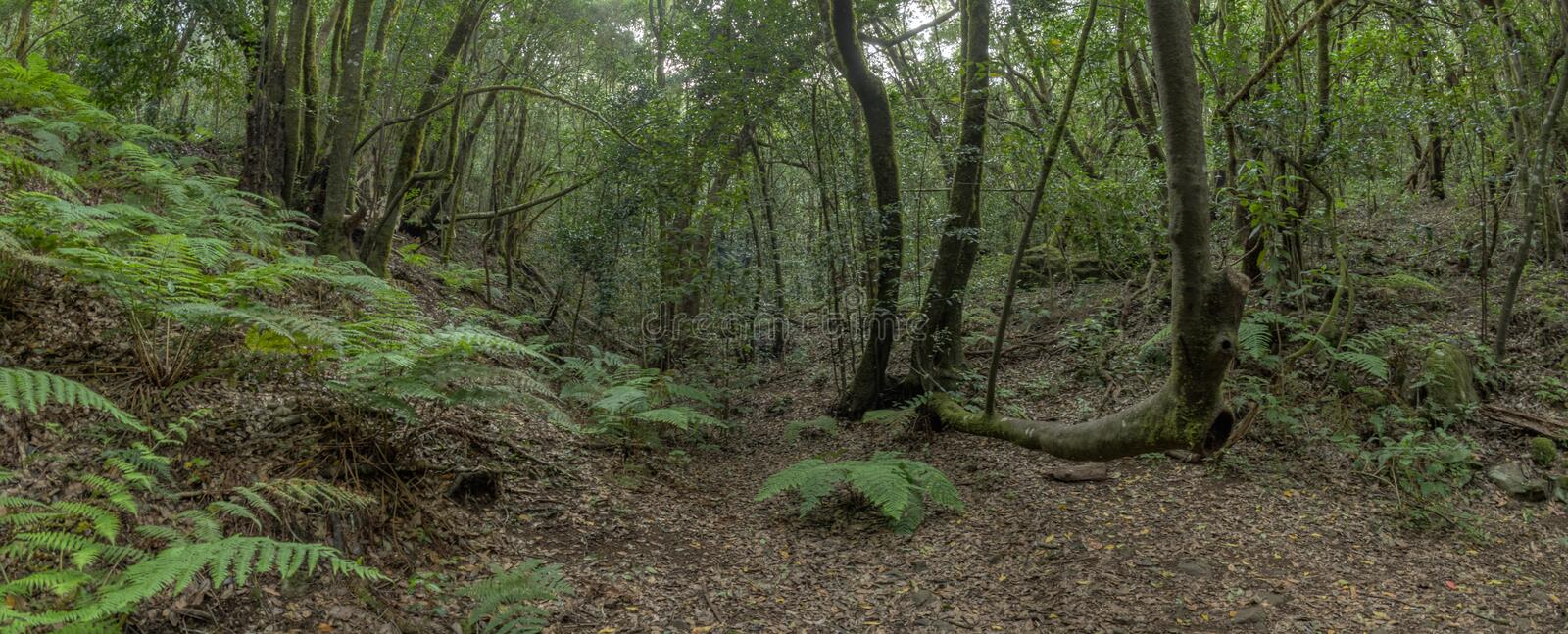 Super wide angle panorama. Relict forest on the slopes of the Garajonay National Park mountains. Giant Laurels and Tree Heather. Along narrow winding paths royalty free stock photos