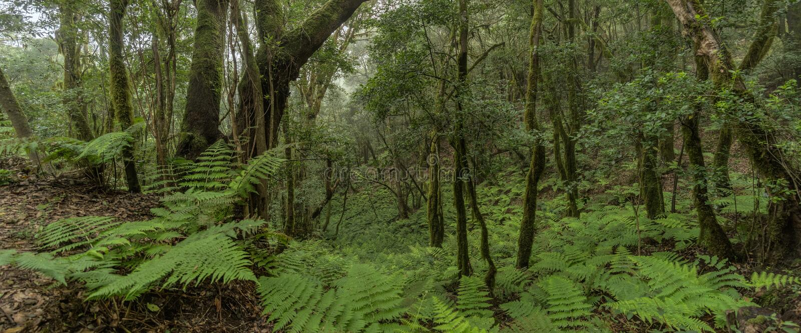 Super wide angle panorama. Relict forest on the slopes of the Garajonay National Park mountains. Giant Laurels and Tree Heather. Along narrow winding paths stock photography