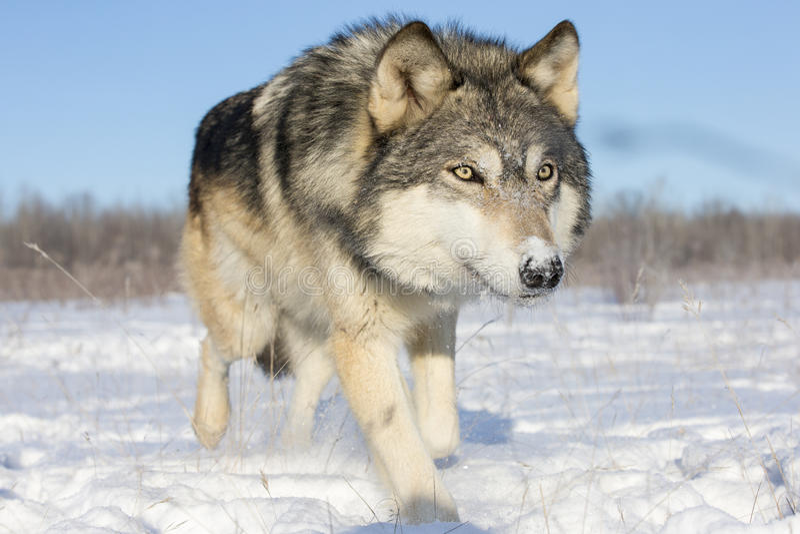 Super zamknięty obrazek szalunku wilk w śniegu fotografia stock