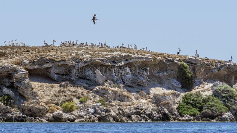 Superb colony of pelicans on the Penguin Island, facing the coast of Rockingham, Western Australia stock photo