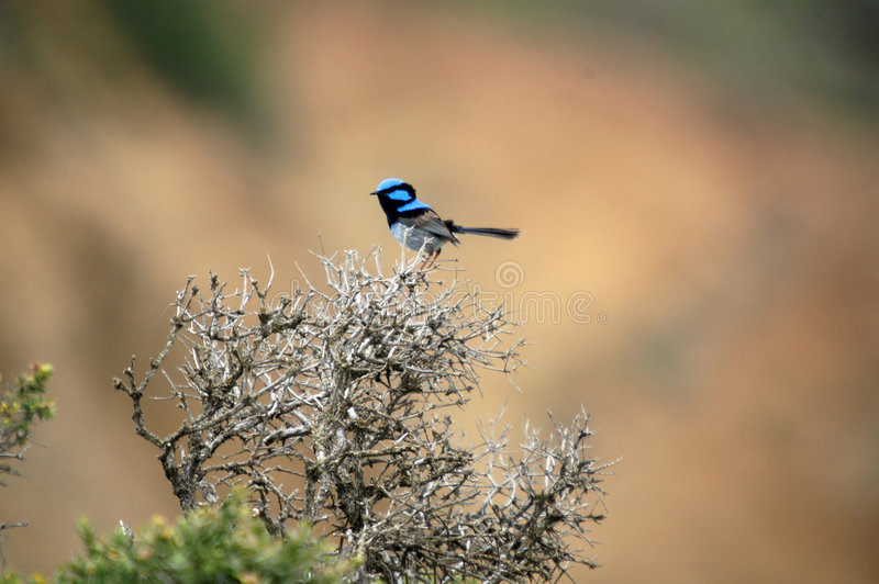 Superb Fairy-wren royalty free stock image