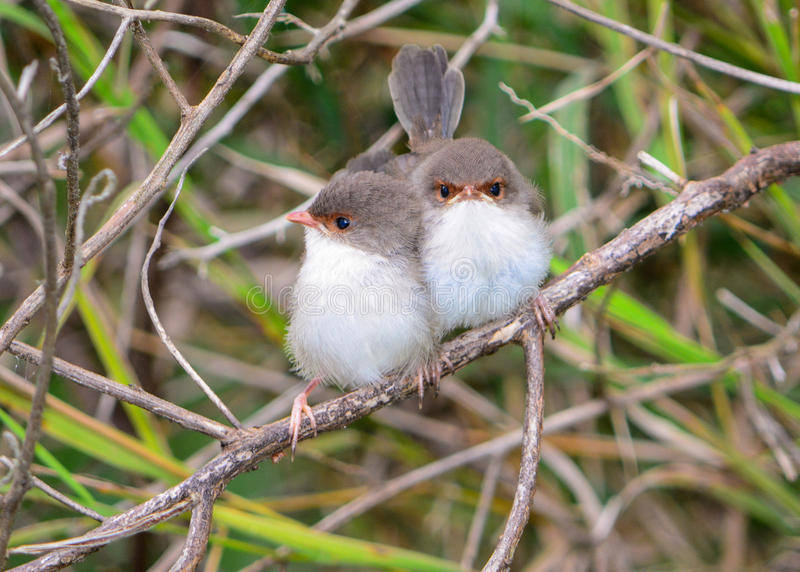 Superb fairy wren chicks royalty free stock photography