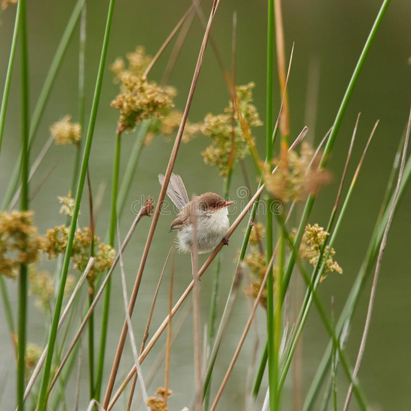 Superb Female Fairy Wren. Sitting between the reeds where she rest looking for food. The little body against a muted blurred field background. All fluffed up stock photo