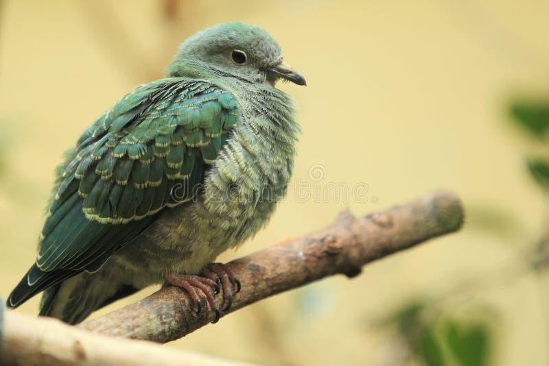 Download Superb fruit dove stock image. Image of fruit, female - 28701875