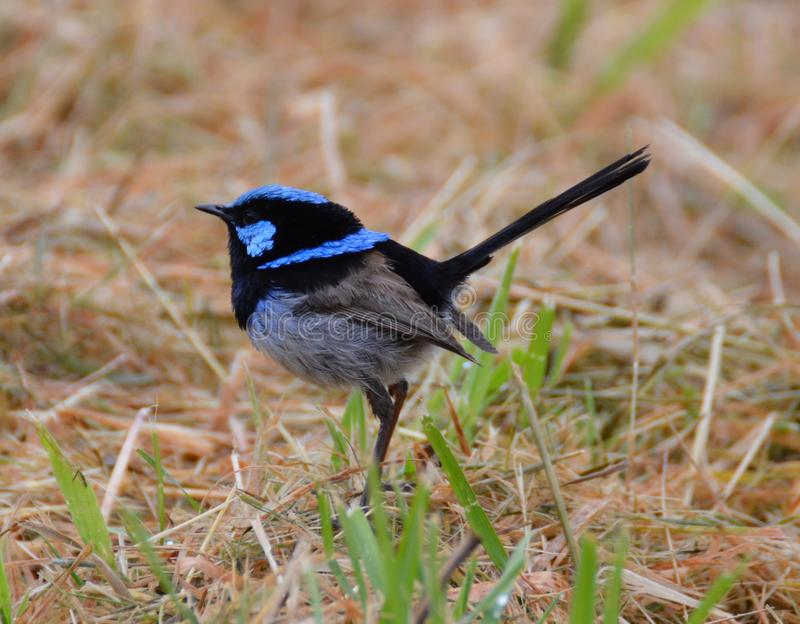 Superb Male Blue Wren stock photography