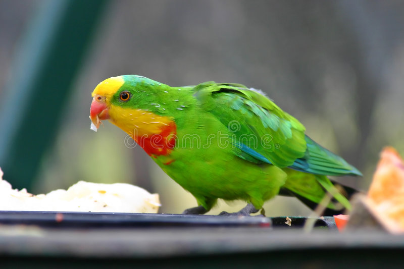 Download Superb Parrot stock photo. Image of australia, perched - 920054