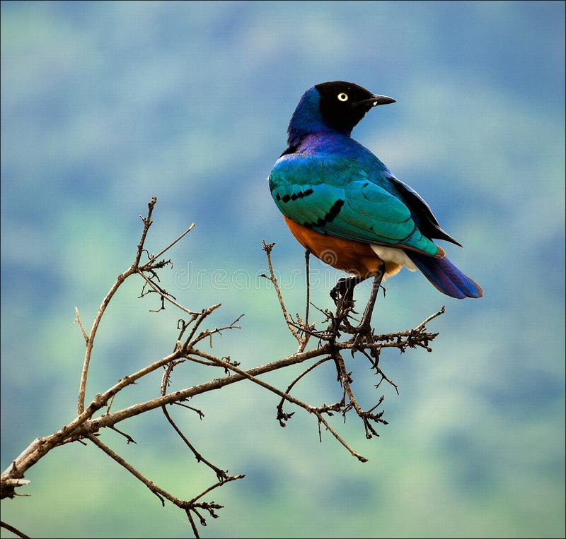 Superb Starling. Colourful bird Superb Starling sits on a branch on a bright blue-green background stock images