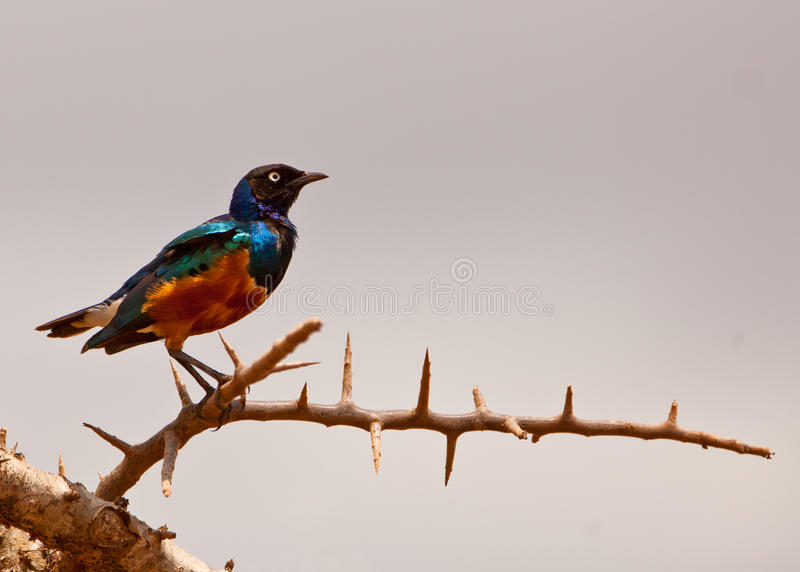 Download Superb Starling stock photo. Image of africa, feathers - 24919404