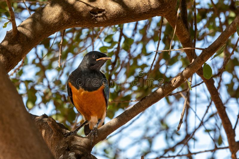 Superb starling in Amboseli National Park royalty free stock images