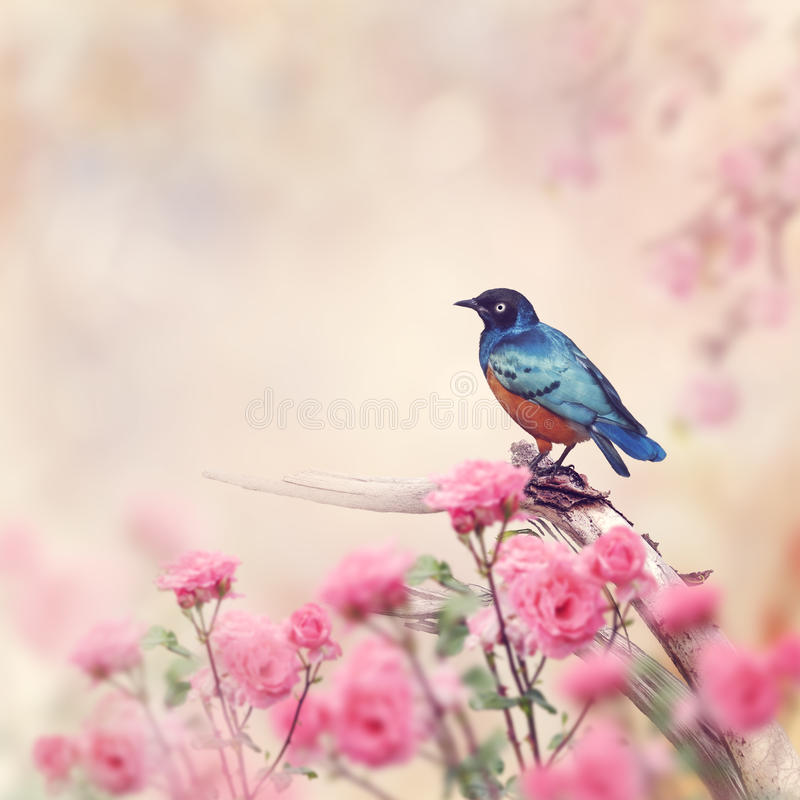 Free Superb Starling Bird Royalty Free Stock Image - 60823256