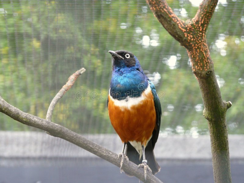 Superb Starling Bird Royalty Free Stock Photo
