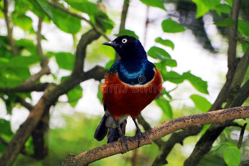 Superb Starling bird in close up royalty free stock photo