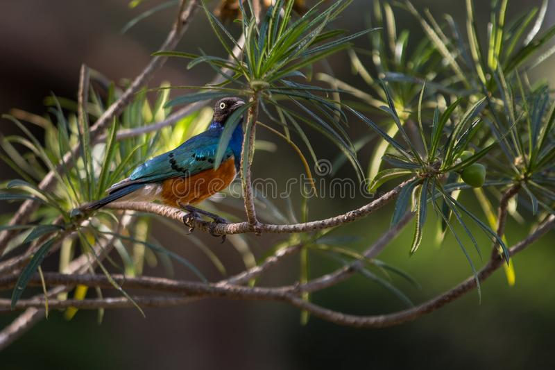 African superb starling. Superb starling on a branch stock photos