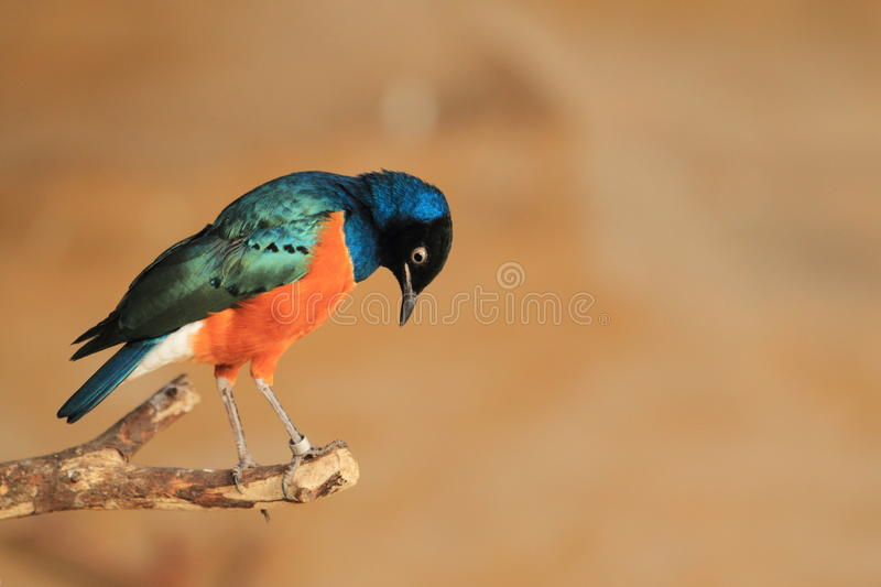 Superb starling. On the edge of the branch royalty free stock images