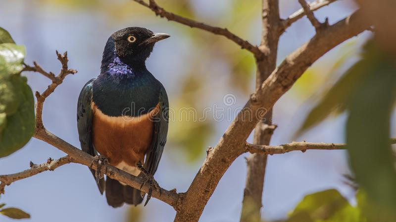 Superb Starling on Tree. Superb starling, Lamprotornis superbus, perches on tree branch in Finchawa, Ethiopia, Africa royalty free stock photo
