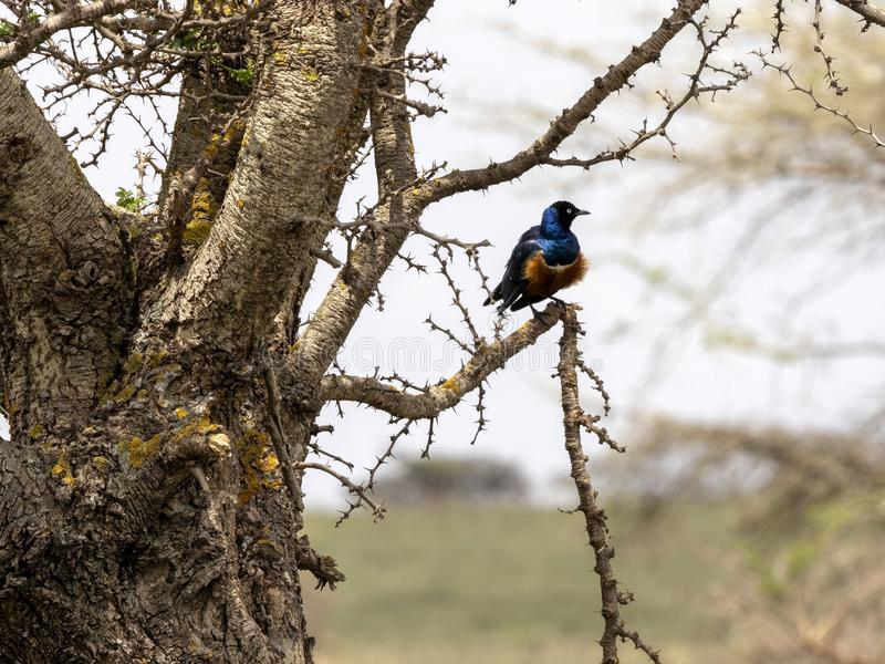Superb starling, Lamprotornis superbus, is a very beautiful bird of Ethiopia. The Superb starling, Lamprotornis superbus, is a very beautiful bird of Ethiopia stock images