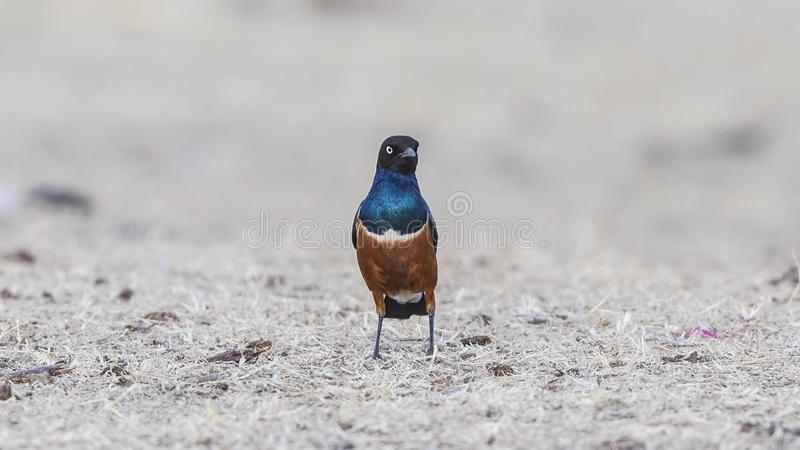 Superb Starling Wandering in Field stock photo