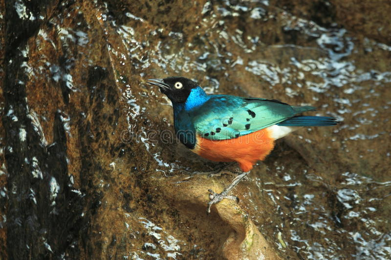 Superb starling stock photography