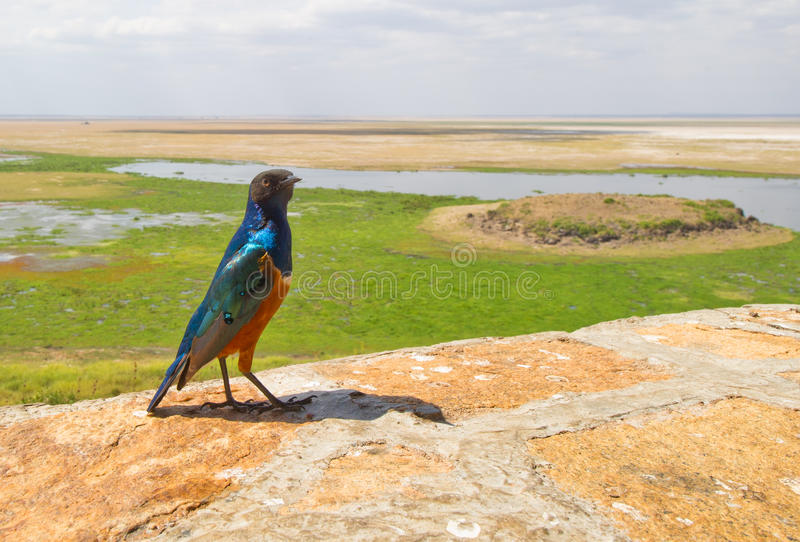 Superb Starling with African landscape. A Superb Starling seems to show the viewer the beauty of his native Amboseli National Park in Kenya royalty free stock images
