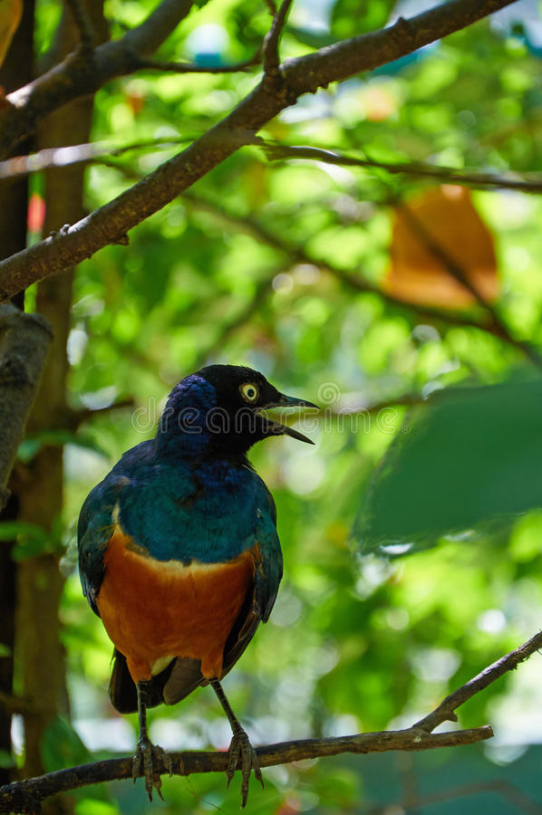 Superb starling is singing on the tree royalty free stock photos