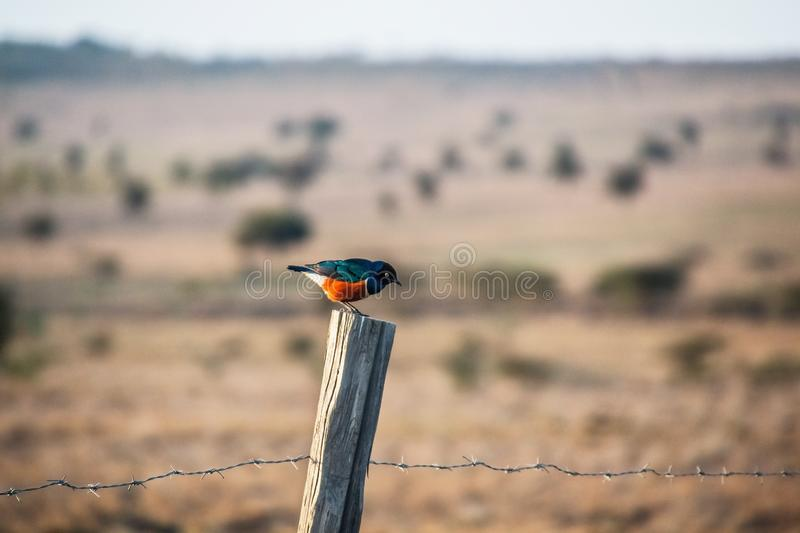 Superb starling sitting on a fence. In kenya stock photos