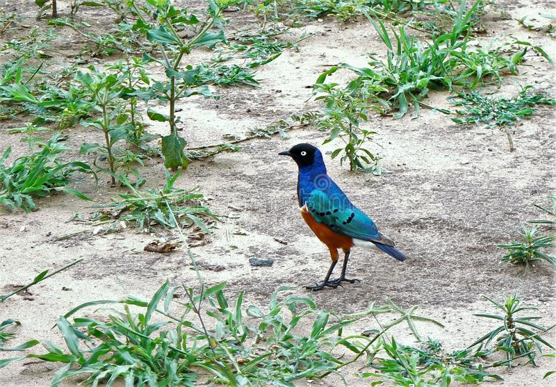 Superb Starling. Standing on the ground royalty free stock photos
