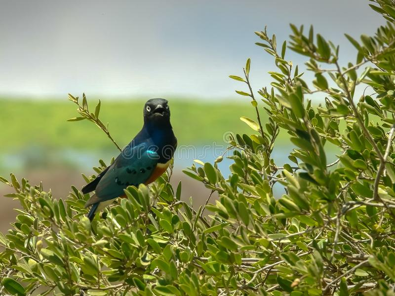 Superb starling in a tree at observation hill in amboseli royalty free stock images