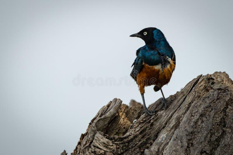 Superb starling on tree stump turning head stock photos