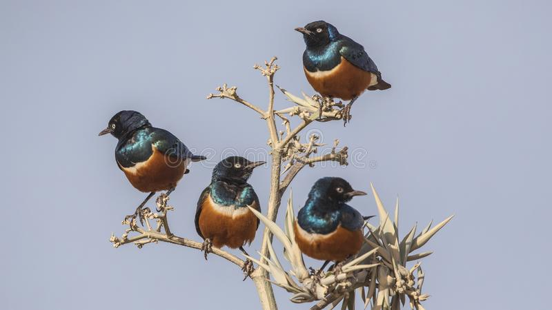 Superb Starlings on Thorny Tree stock images