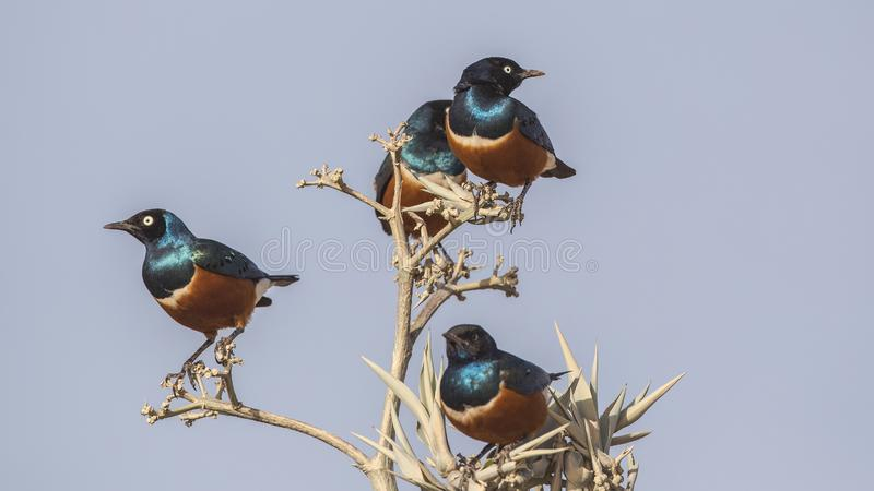 Superb Starlings on Tree. Four Superb starlings, Lamprotornis superbus, perch on thorny tree branch in Negele, Ethiopia, Africa stock photography
