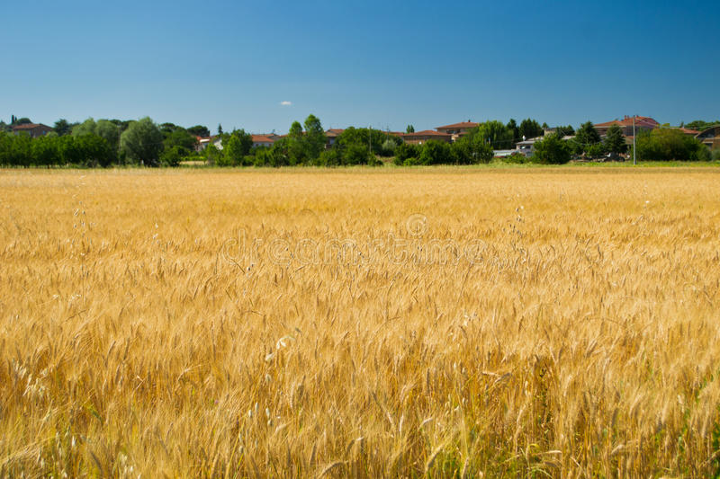Superb Wheat field in the wind stock photo