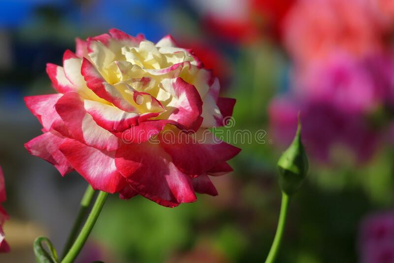 Superb yellow and red rose in full bloom. Detail stock photo