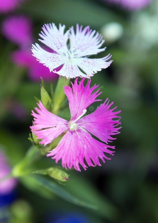 Superbus för CloseupkronbladDianthus rosa färger satt fransar på växt- doft arkivfoton