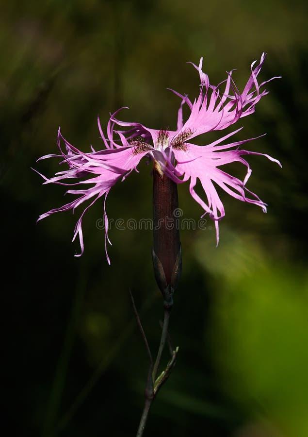 Superbus van Dianthus stock fotografie