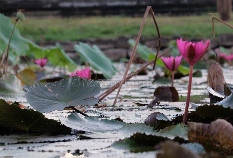 A superfície da água é coberta com as folhas e as flores de lótus Flor de Lotus em uma lagoa imagens de stock
