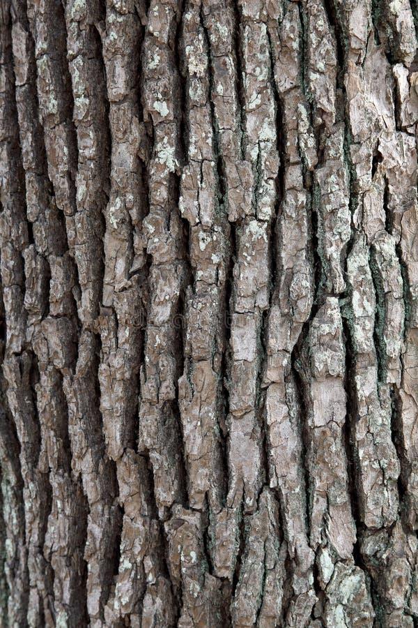 Superfície da árvore de cânfora fotografia de stock