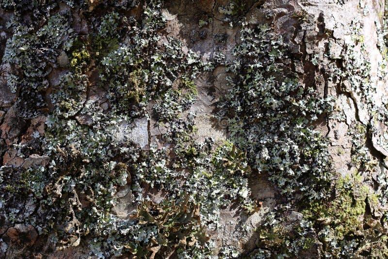 Superfície de um tronco de árvore coberto com o líquene da prata e do ouro foto de stock royalty free