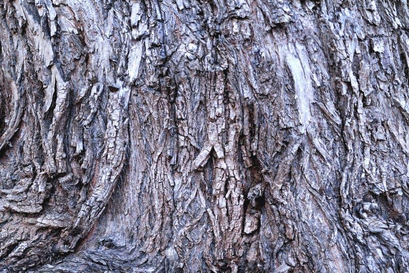 Superfície desigual da casca da árvore velha, fundo do vintage da estrutura do não-uniforme do carvalho fotos de stock