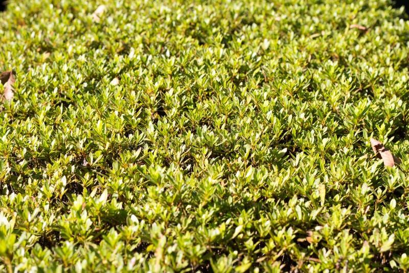 Superfície do arbusto aparado fotografia de stock